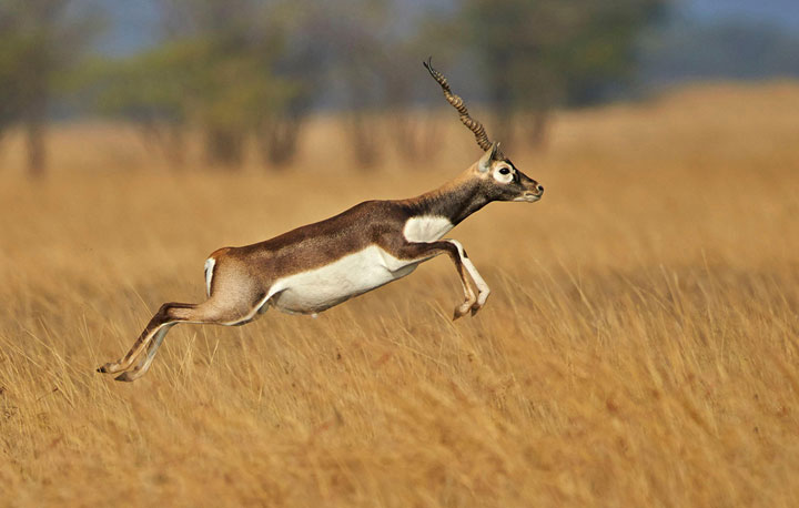 Blackbuck Sanctuary